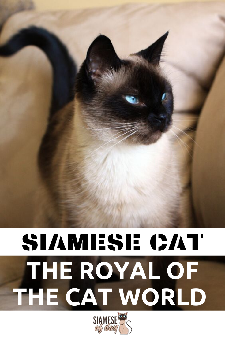 Royal Siamese Cat Mysterious & History (With