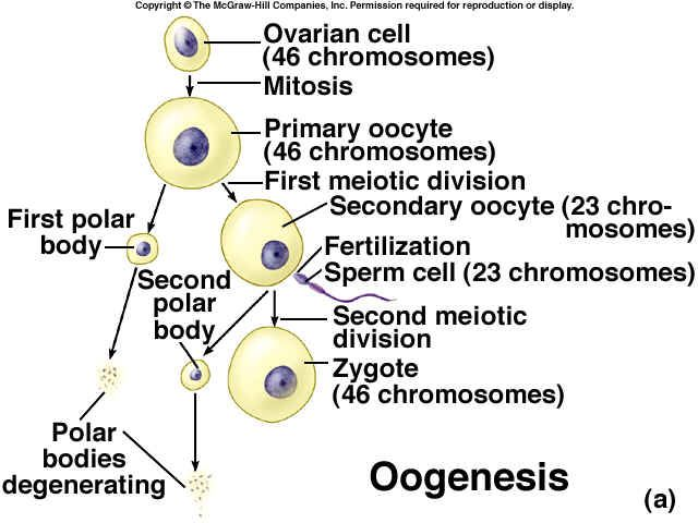 Oogenesis is a monthly event that produces haploid egg by ...