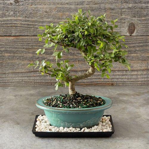 Chinese Elm Bonsai, 6
