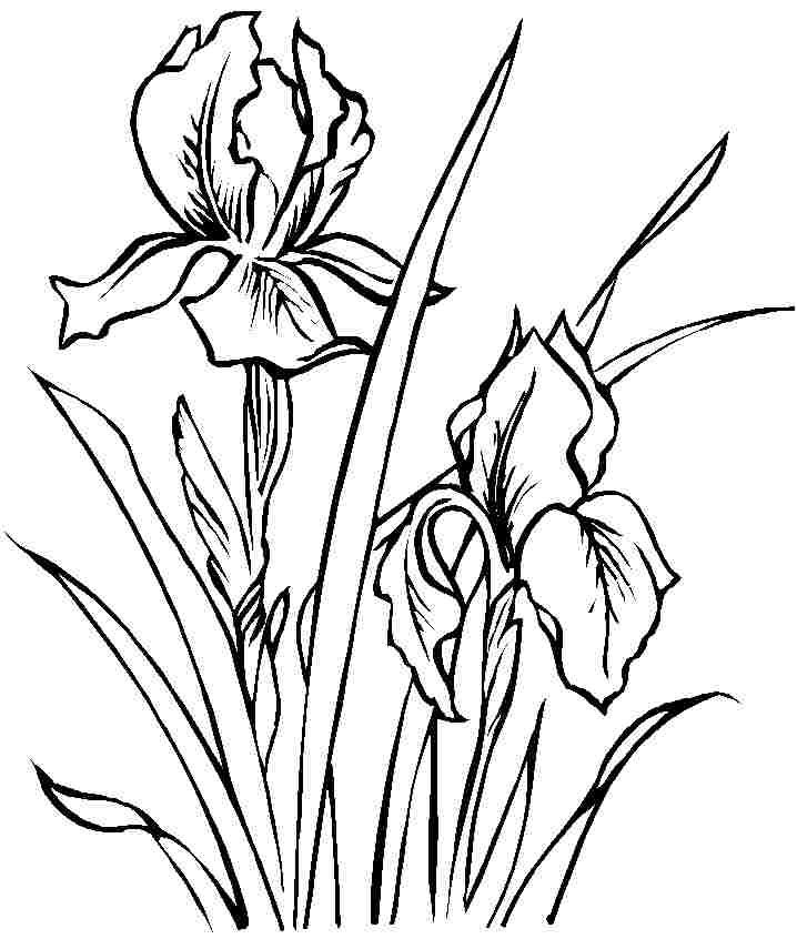 Line Drawing Of Iris Flower : Coloring sheets iris flowers free printable for little