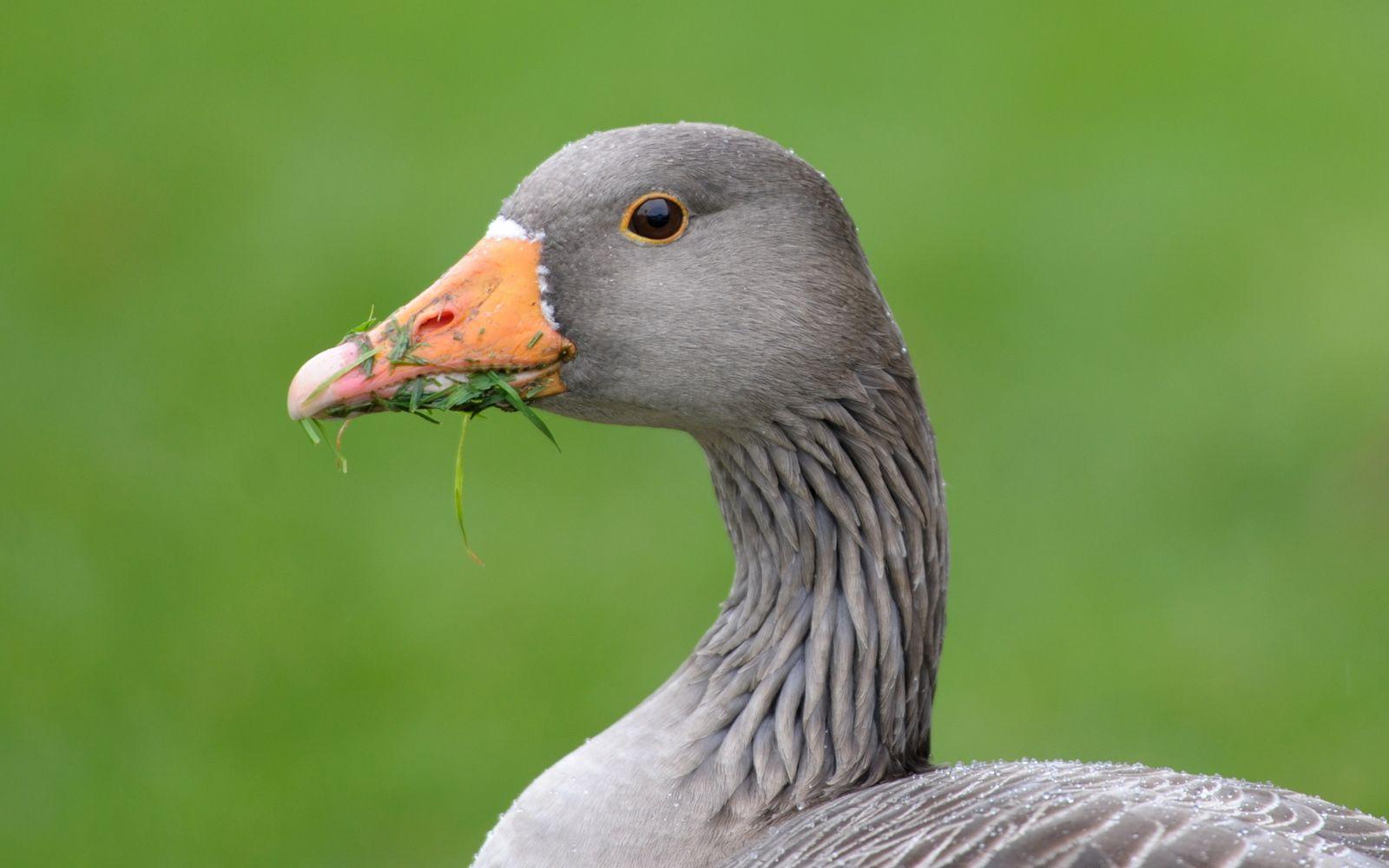 El ganso gris. Vida animal