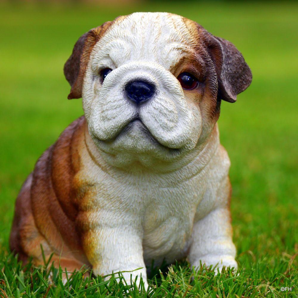 Bulli Baby Bulldoggen welpen, Bulldogge, Englische bulldogge