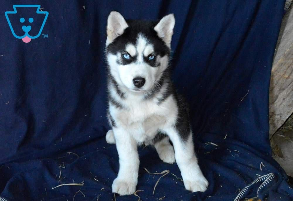 Major Husky Puppies For Sale Husky Puppy Husky