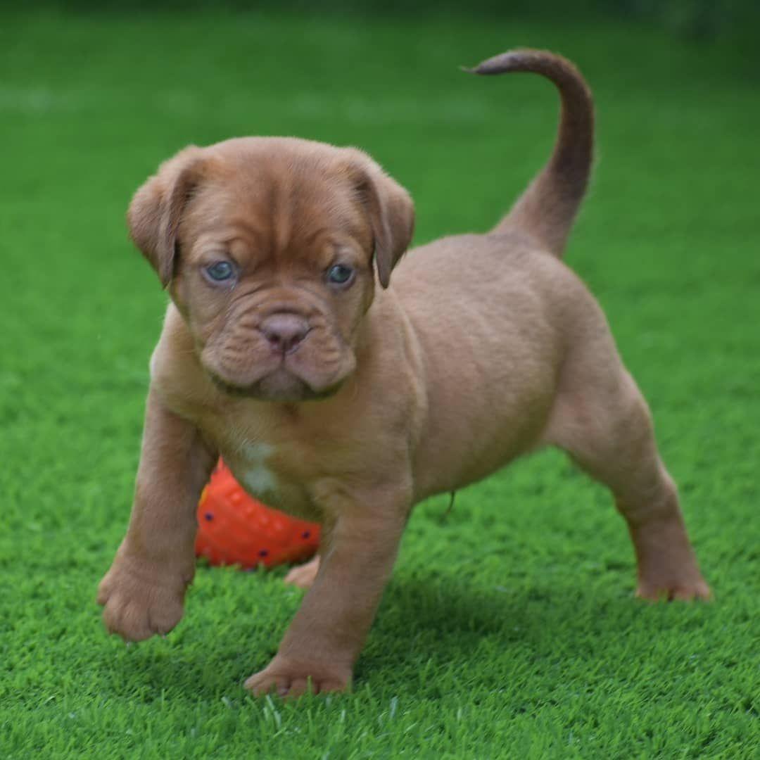 Pin On French Mastiff Puppies