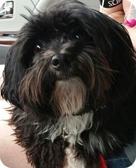 Facts About Koda Breed Havanese Color Black With White Age Young Size Small 25 Lbs 11 Kg Or Less Sex Malerescue Group Ceasers Heaven Contact Havanese