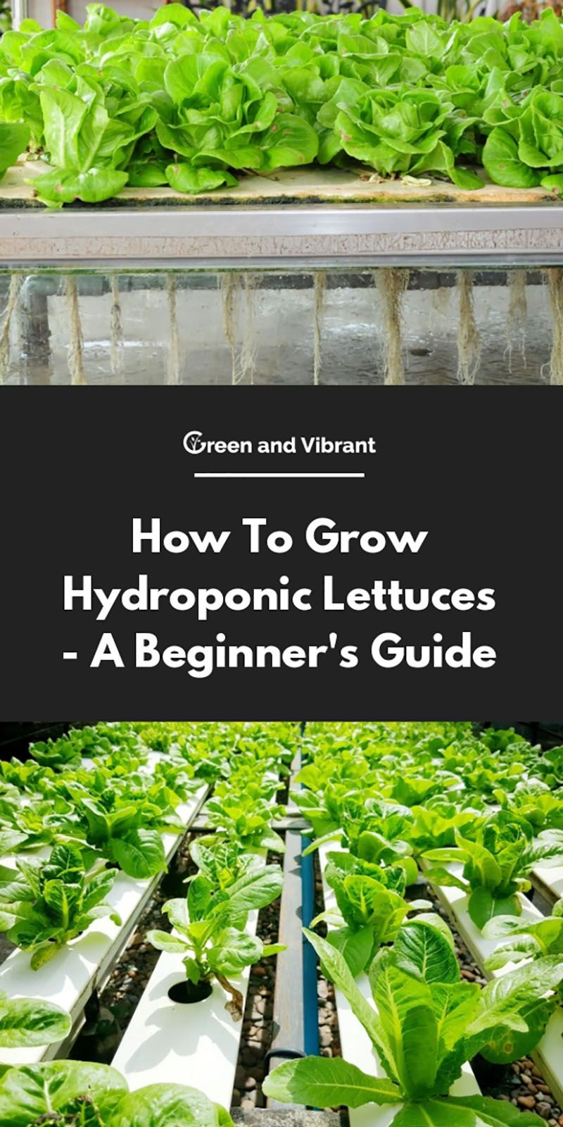 How To Grow Hydroponic Lettuces A Beginner S Guide Hydroponic