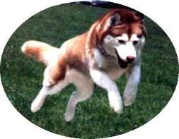 Stoli Siberians Home Page Siberian Husky Breeder In New York