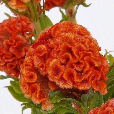 Cockscomb Celosia Cristata Nana Jessica Orange For a rather