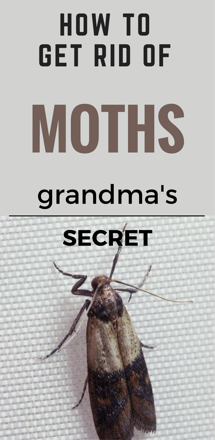 How To Get Rid Of Moths Grandma S Secret 101cleaningsolutions Com Getting Rid Of Moths Moths In House Moth