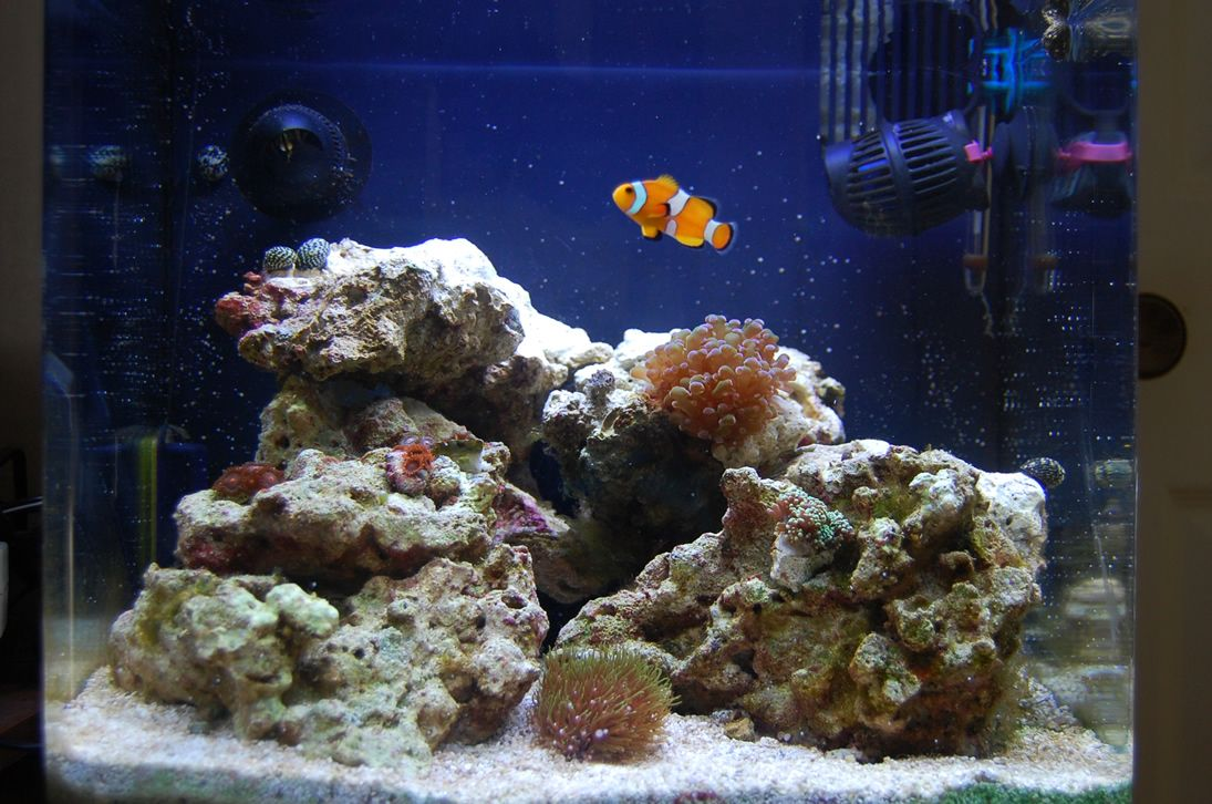 Clownfish marine tank fish pinterest for Marina fish tank