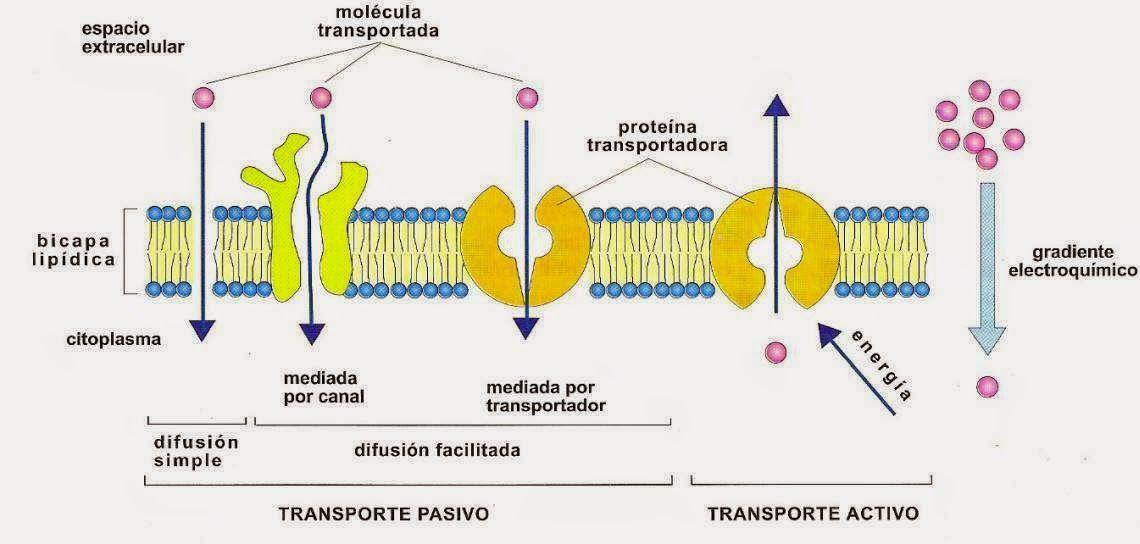 Transportes De La Membrana Celular Buscar Con Google Planisferio Con Nombres Transporte Pasivo Bioquimica