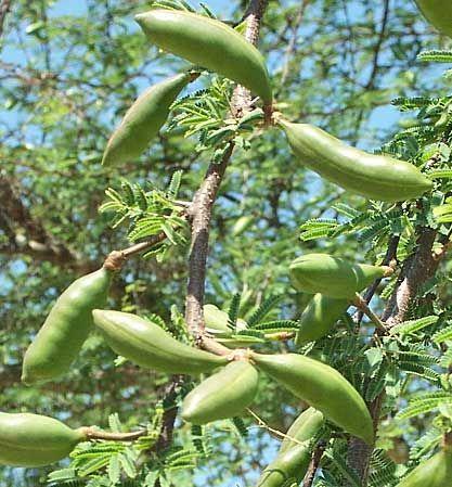 Acacia Farnesiana Sweet Acacia Fruit Family Leguminosae