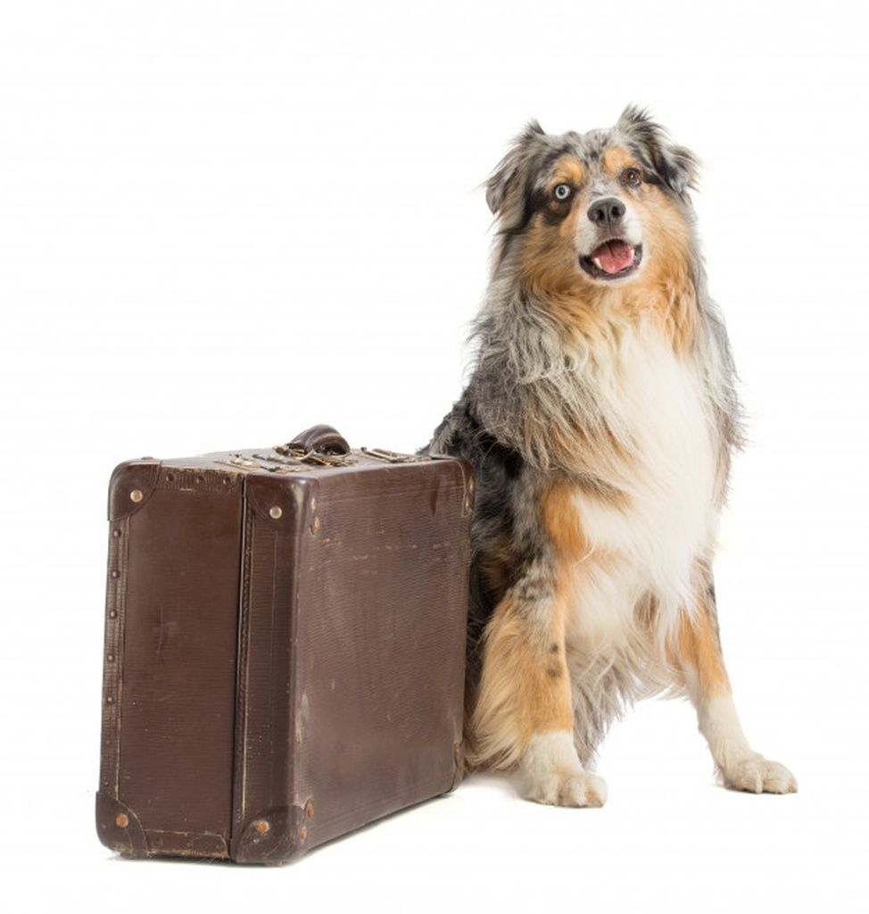 Australian shepherd blue merle with suitcase #paid, , #Affiliate, #Ad, #shepherd, #suitcase, #merle, #Australian