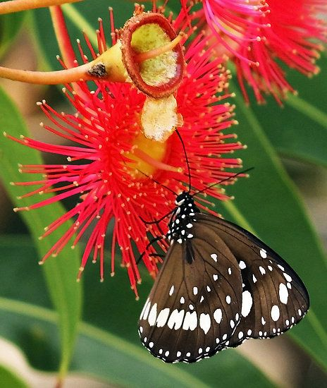 Black Flower Wasp From Australia: Gorgeous Gum Nut Flower And Beautiful Butterfly