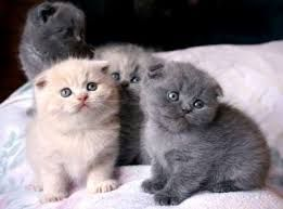 Two Dark Gray One Light Gray And One Beautiful White Scottish Fold Kittens Taylor Swift Scottish Fold Kittens Cute Animals Munchkin Cat Scottish Fold
