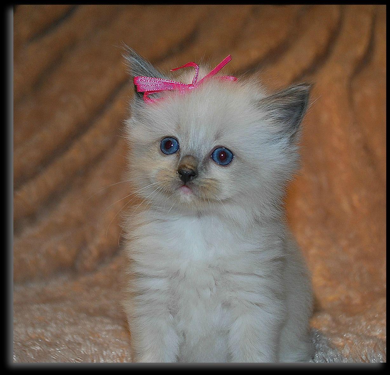Baby Blue Mitted Ragdoll Kitten Ragdoll Cats