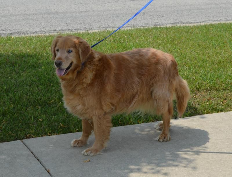 Adopt Max On Dog Lovers Dogs Golden Retriever Golden Retriever