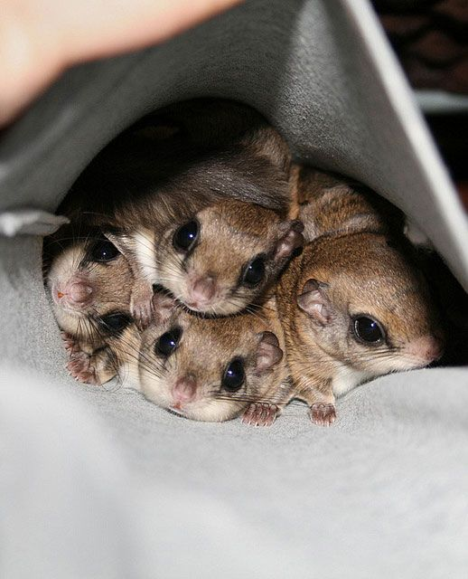 Flying Squirrel babies...oh!  ;)))