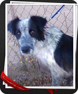 Mesa Az Border Collie Mix Meet Fergie A Dog For Adoption Http Www Adoptapet Com Pet 16844452 Mesa Arizona Border Coll Kitten Adoption Pets Dog Adoption