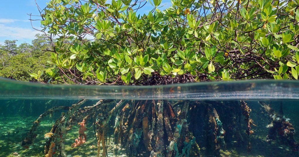 La protection des mangroves, un élément clé de la lutte