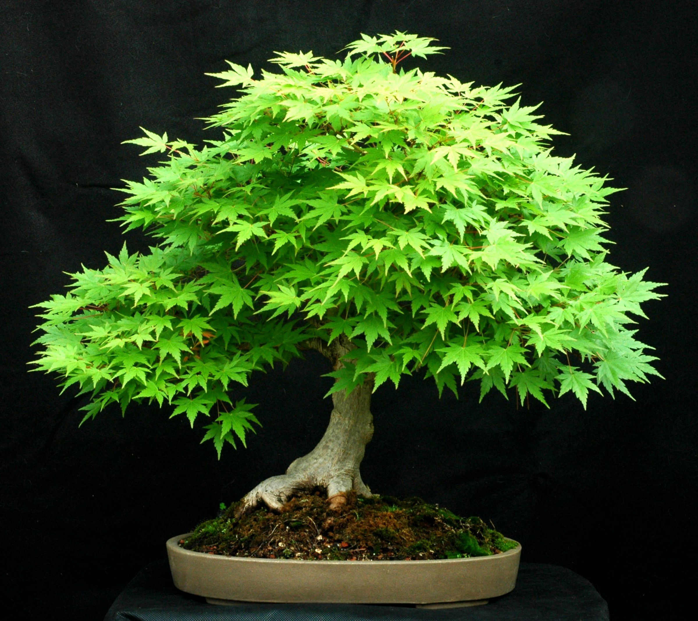 Will Heath...Japanese Maple (Acer palmatum)   Height: 21 inche