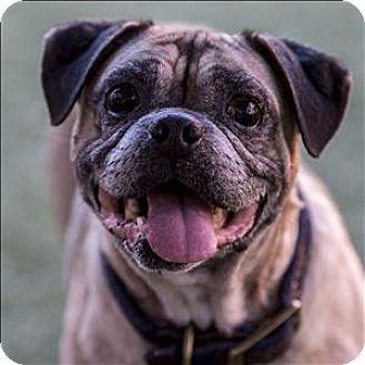 San Diego Ca Pug Beagle Mix Meet Bugs A Dog For Adoption