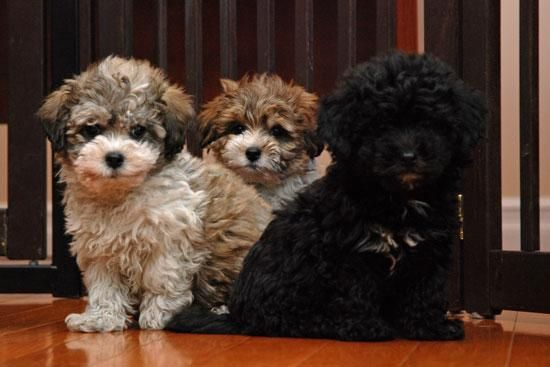 Shichon Puppies For Sale Shichon Puppies Shichon Puppies For