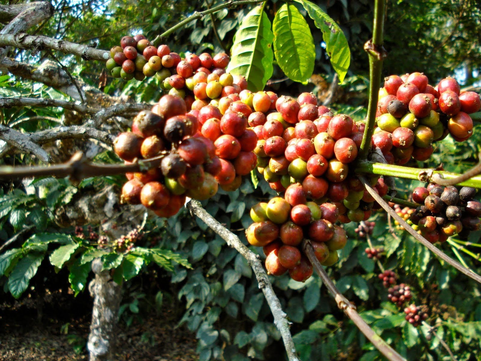 Coffee cherries from a Robusta plant in Virajpet,