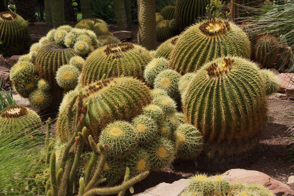 Dicke Dinger | Kaktus, Sukkulenten, Bilder