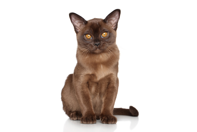 5 Beguiling Facts About Burmese Cats Mental Floss With Images Burmese Cat Cat Empire Cats