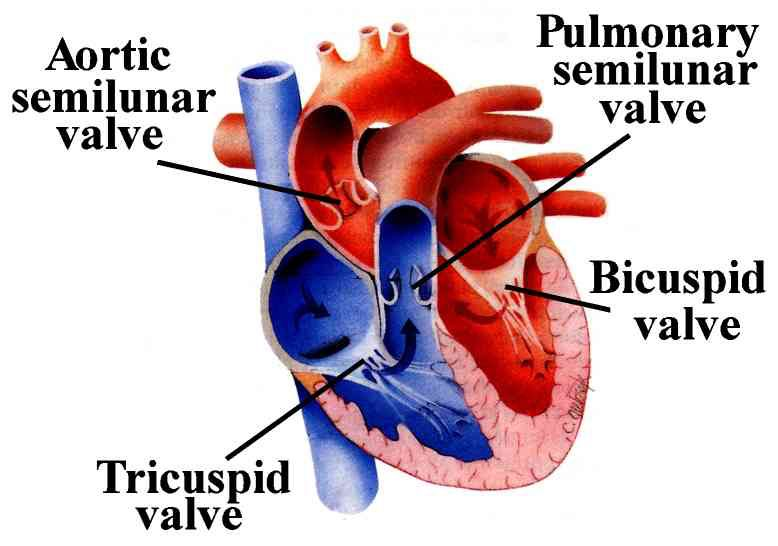 Valves Of The Heart Arteries And Veins Heart Valves Human Body Systems