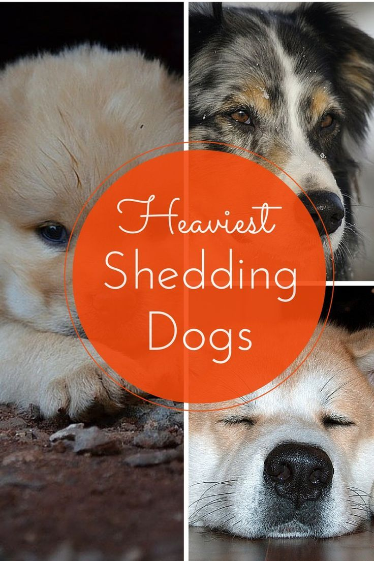 Least Hypoallergenic Dogs Which Dogs Shed the Most? Dog