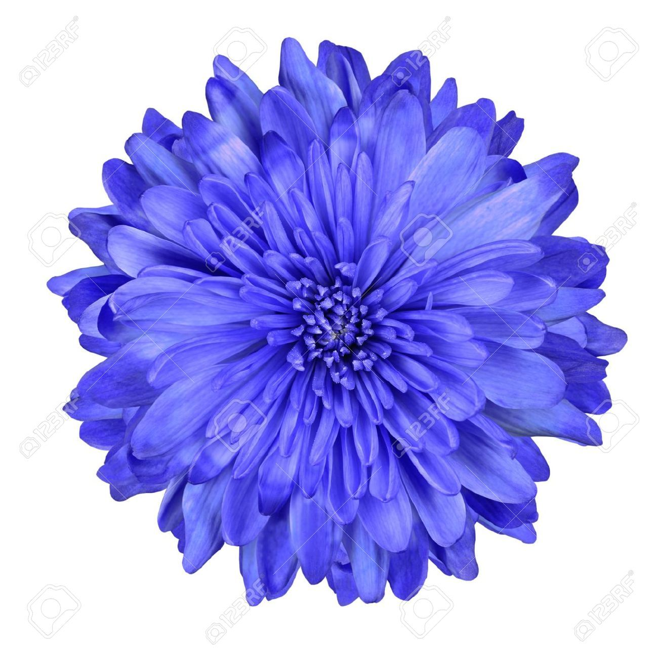 Single Deep Blue Chrysanthemum Flower Isolated Over White Background Blue Flowers Images Chrysanthemum Flower Blue Flower Tattoos