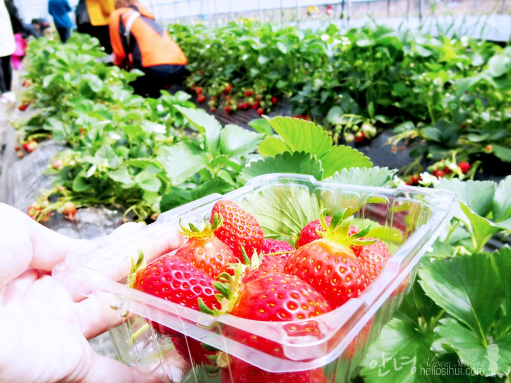 Song Chon Strawberry Farm 송촌호반농장