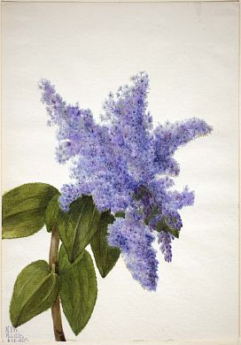 """California Lilac (Ceanothus thyrsiflorus)"", 1935, Mary Vaux Walcott, watercolor on paper, sheet: 9 7/8 x 6 7/8 in. (25.2 x 17.6 cm), Smithsonian American Art Museum Gift of the artist 1970.355.265"