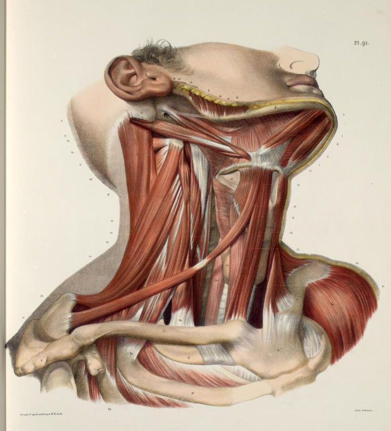 Neck+muscles%2C+with+mandible%2C+hyoid+bone%2C+clavicles+and+ ...