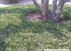 Dwarf Mondo Grass A Tough Evergreen Ground Cover For