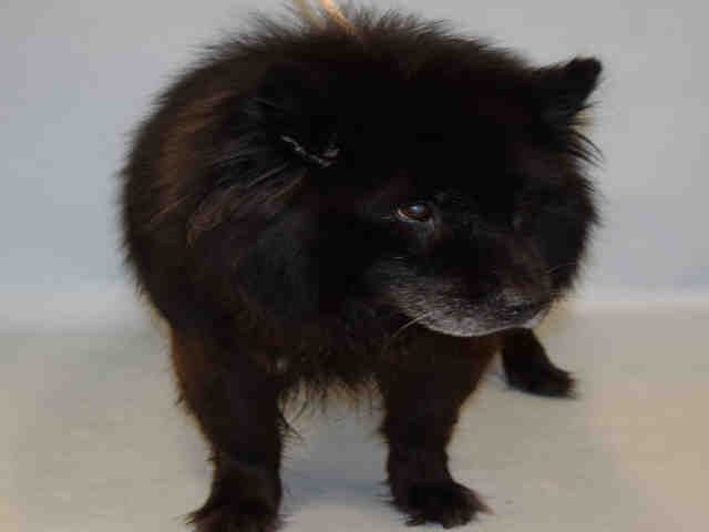 Safe Dunkaroo A1093730 Female Black White Chow Chow Mix