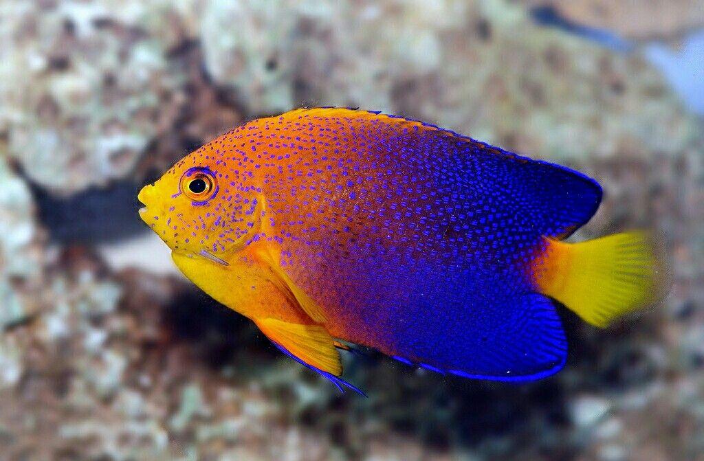 Angel Fish Saltwater