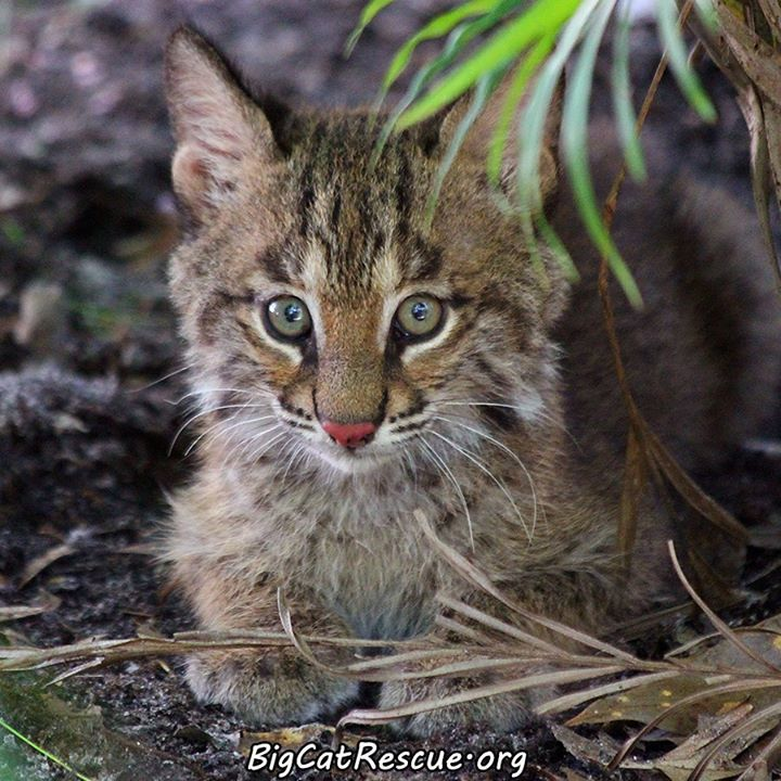 One Of The Newest Bobcat Kittens At Big Cat Rescue In Tampa Bay Fl Bobcat Kitten Big Cat Rescue Big Cats
