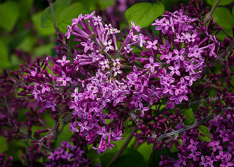 Bloomerang Purple Lilac Lilac Tree Lilac Bushes Bloomerang Lilac