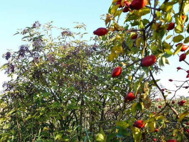 permaculture guild includes elderberry, currents, mulberry and goji berries. permaculture guild includes elderberry, currents, mulberry and goji rmaculture guild includes elderberry, currents, mulberry and goji berries.