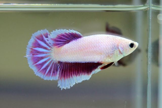 Female Betta Fish | Lavender Dragon Female Fancy Bettas Pinterest Lavender
