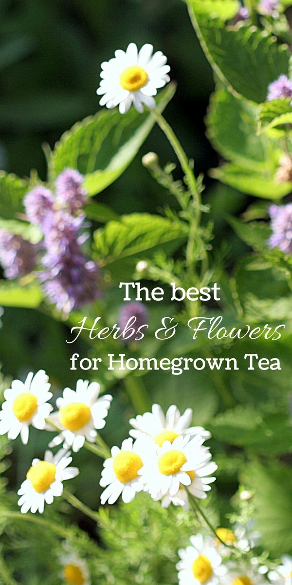 Grow a Healing Herbal Tea Garden is part of Tea Herb garden - A herbal tea garden moves beyond rosemary, sage, and thyme, to a whole host of sweet, flavorful, and decorative plants that can be harvested for tea