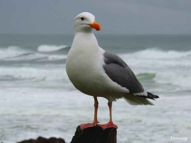 Seagull on a post animal mouette mouette oiseaux et mouette goeland - Dessins de mouettes ...