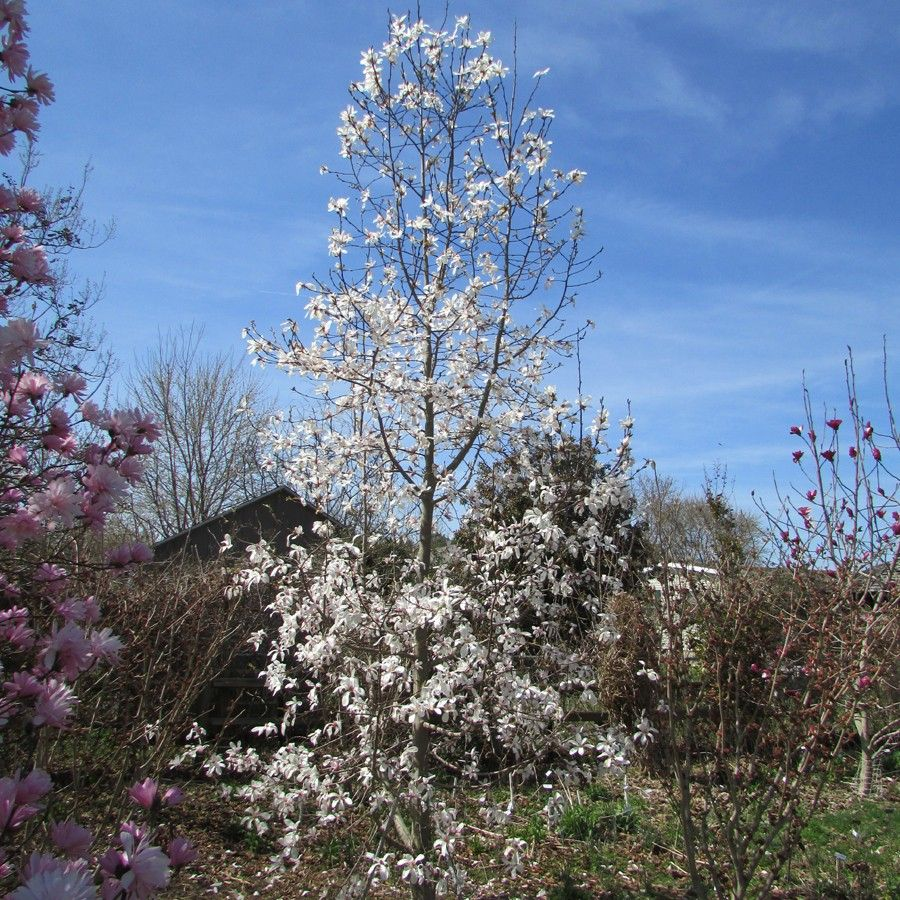 Magnolia North Pole Variegated Plants Trees To Plant Shade Plants