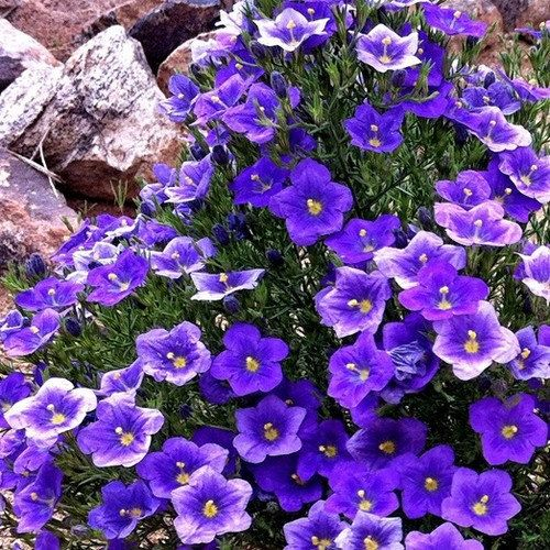 Cup Flower Purple Robe Ground Cover Seeds Nierembergia Hippomanica 200 Seeds Ground Cover Seeds Flowers Perennials Flower Landscape