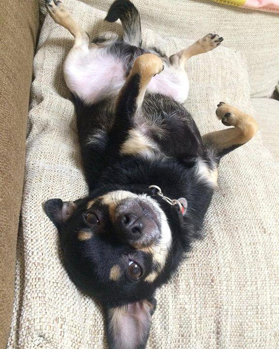 #chihuahua#dog#ig_dogphot#chico#instachi#dogsofinstagram#smalldogs#chicochan344#puppy#cute#omg#hundsome_boy#dog_staglum#insta_dog#love#happy_pet#ilove_dogs#petstagram#pet#petphoto#lovedog#Angel#doglife#baby#smallpet#スムースチワワ#チワワロンスム#スムチー  Photo By: chico344m  http://bit.ly/teacupdogshq