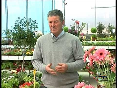 El jardinero en casa gerbera youtube plants for Jardinero en casa