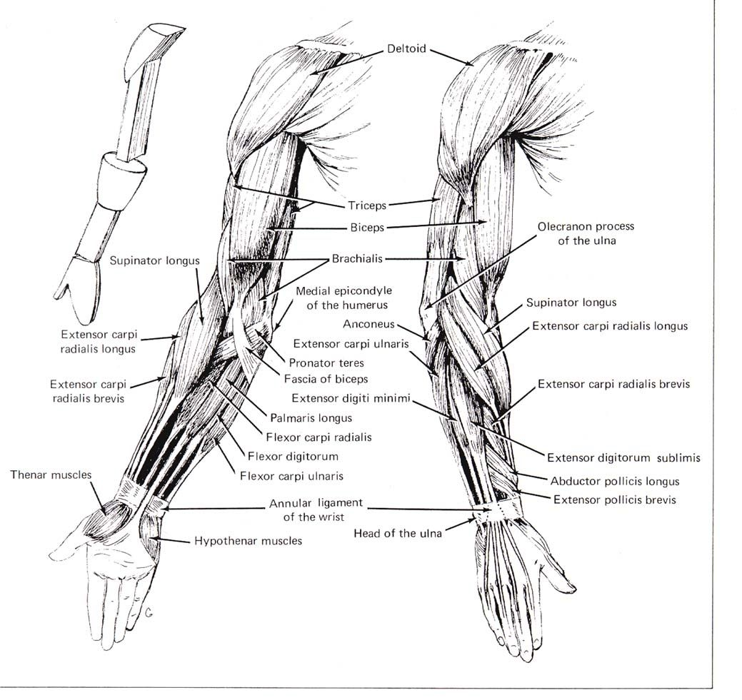 human anatomy arm muscles anatomy of arm muscles